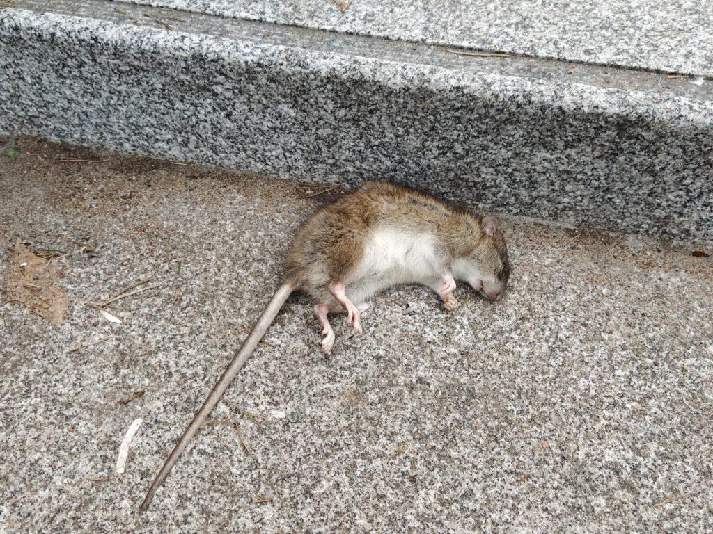 Mitä Rotta Pelkää